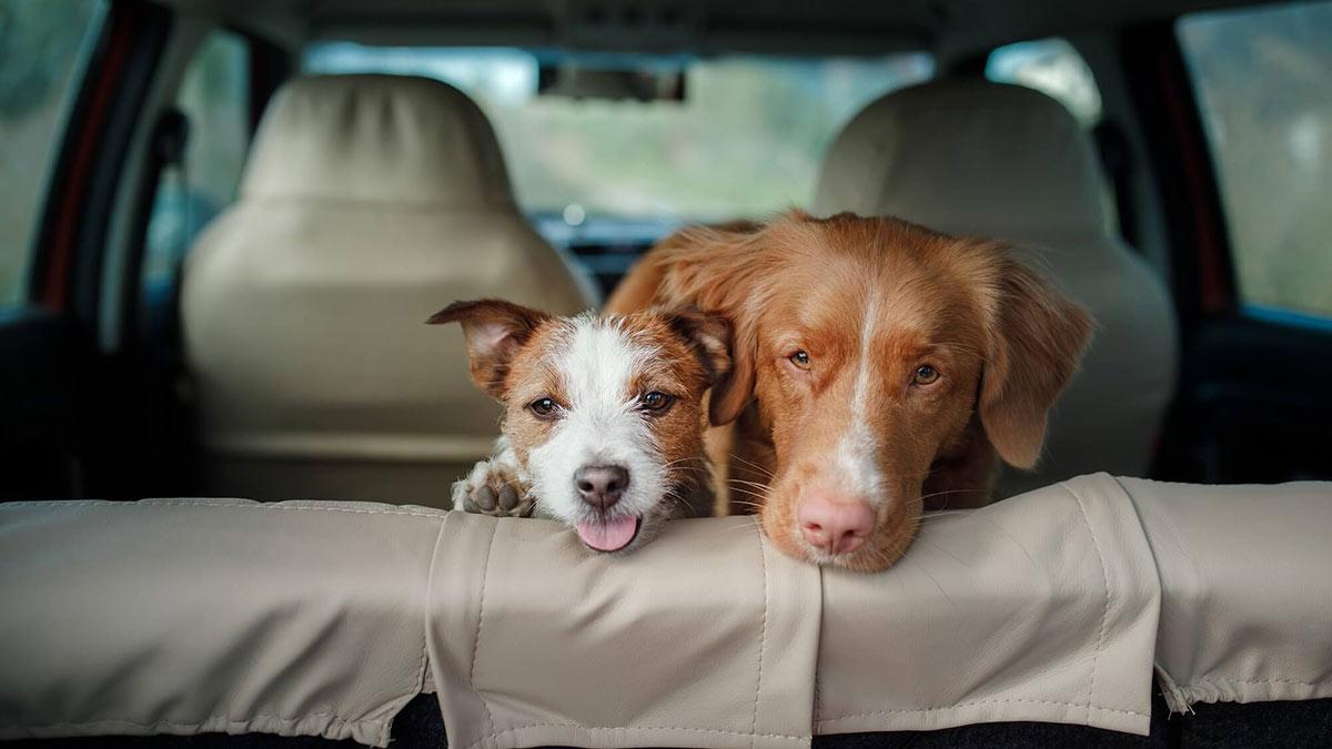 собаки на заднем сидении автомобиля