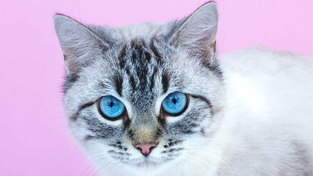 кошка пристально смотрит голубые глаза