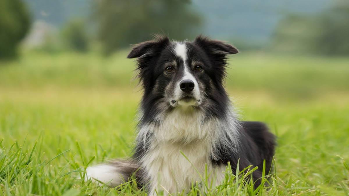 Собака породы Бордер-колли