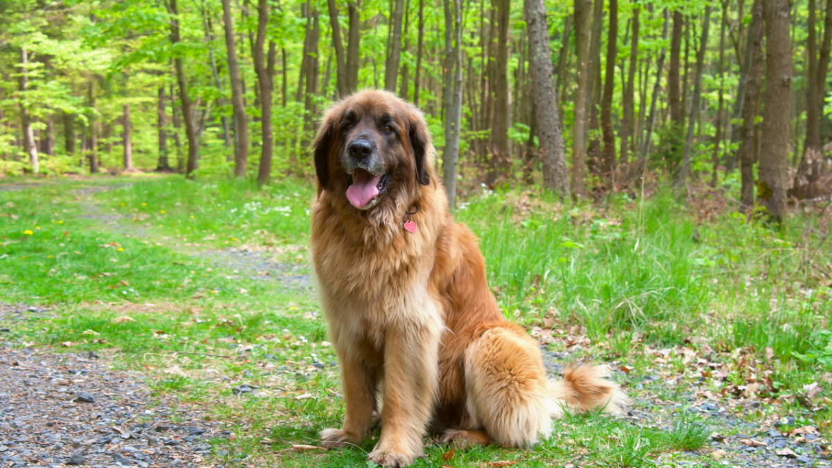 Собака породы Леонбергер