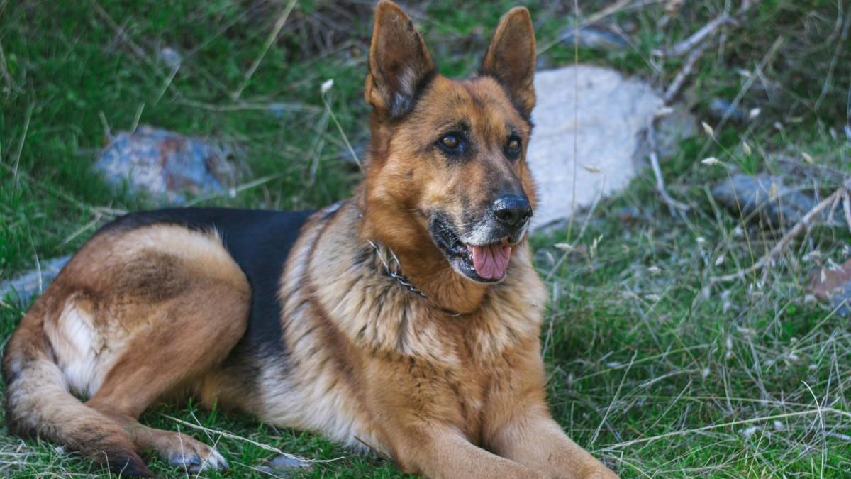 Собака породы Немецкая овчарка.