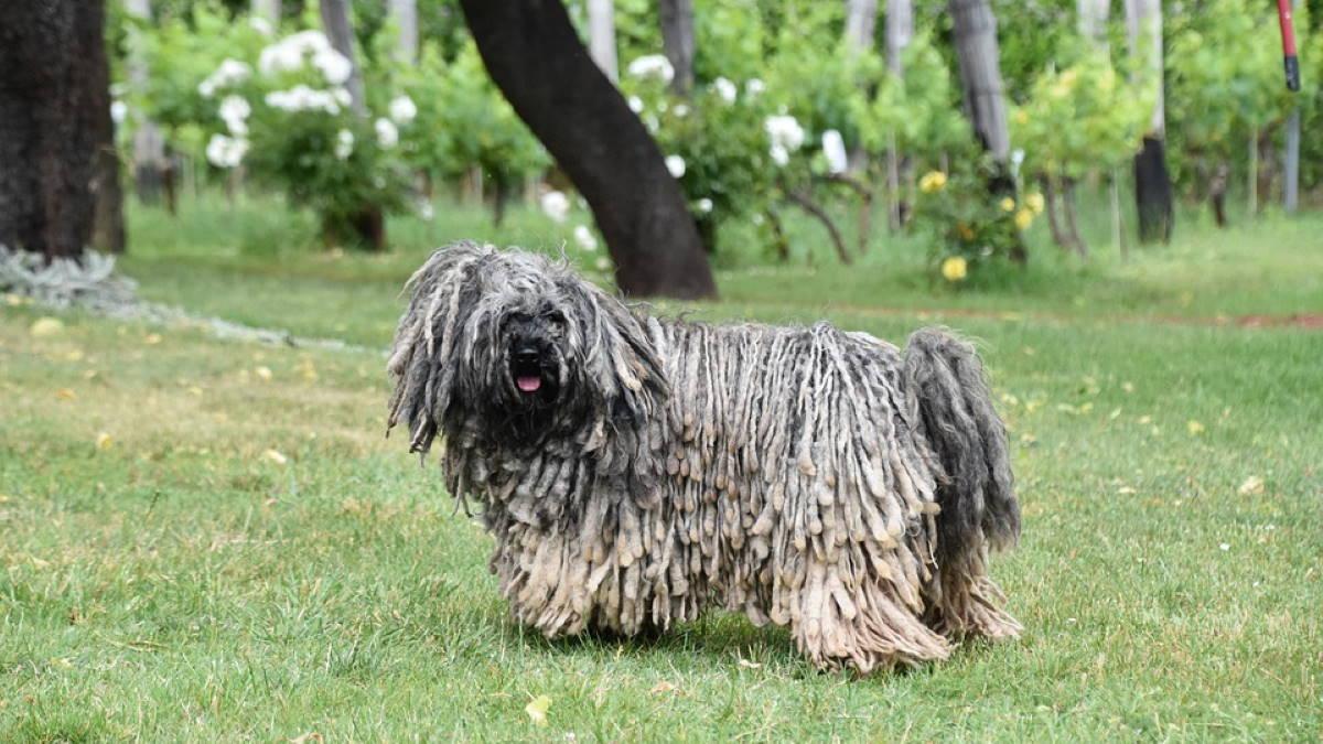Собака породы Пули