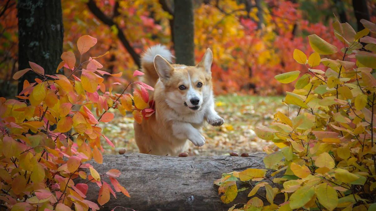 Собака породы Вельш-корги пемброк