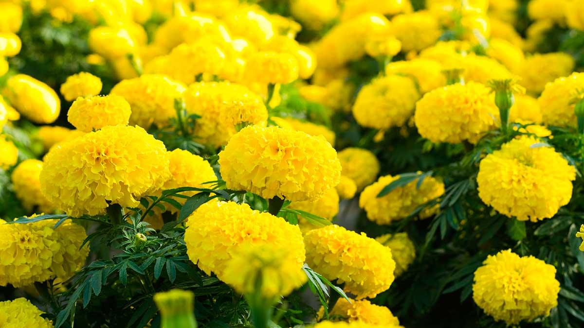 бархатцы цветы растения