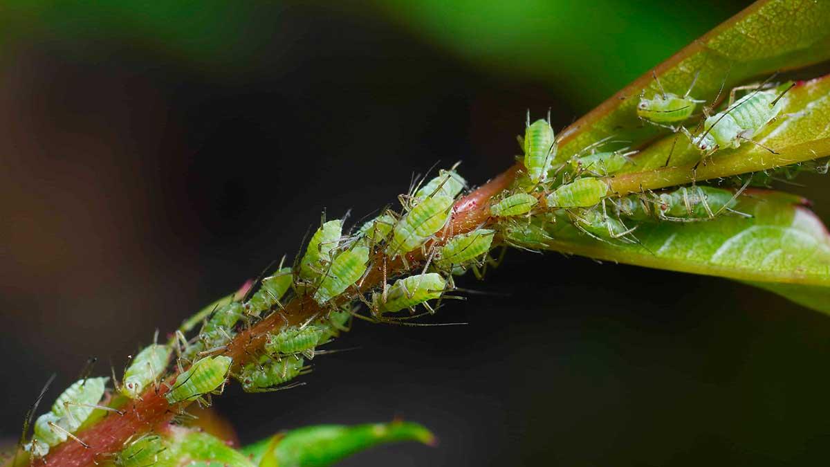 бурая малинная тополиная тля