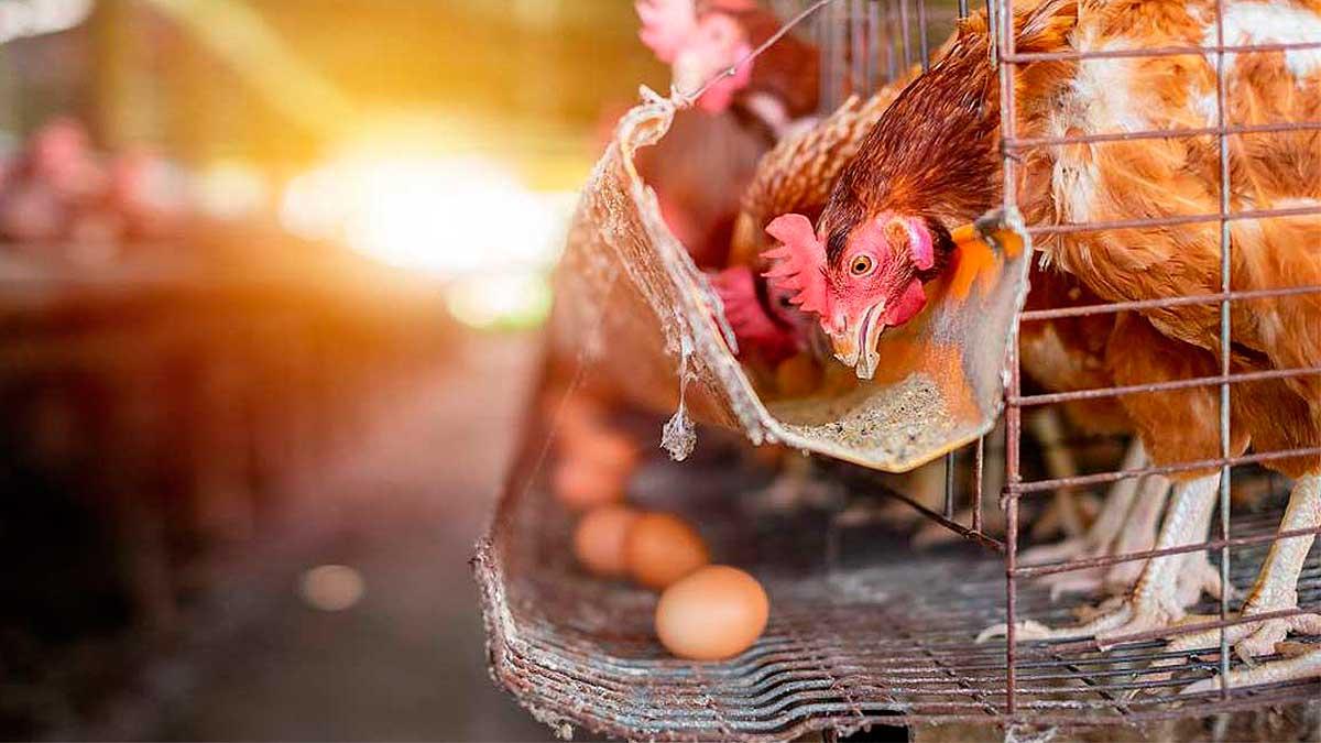 курица ест яйцо лежит
