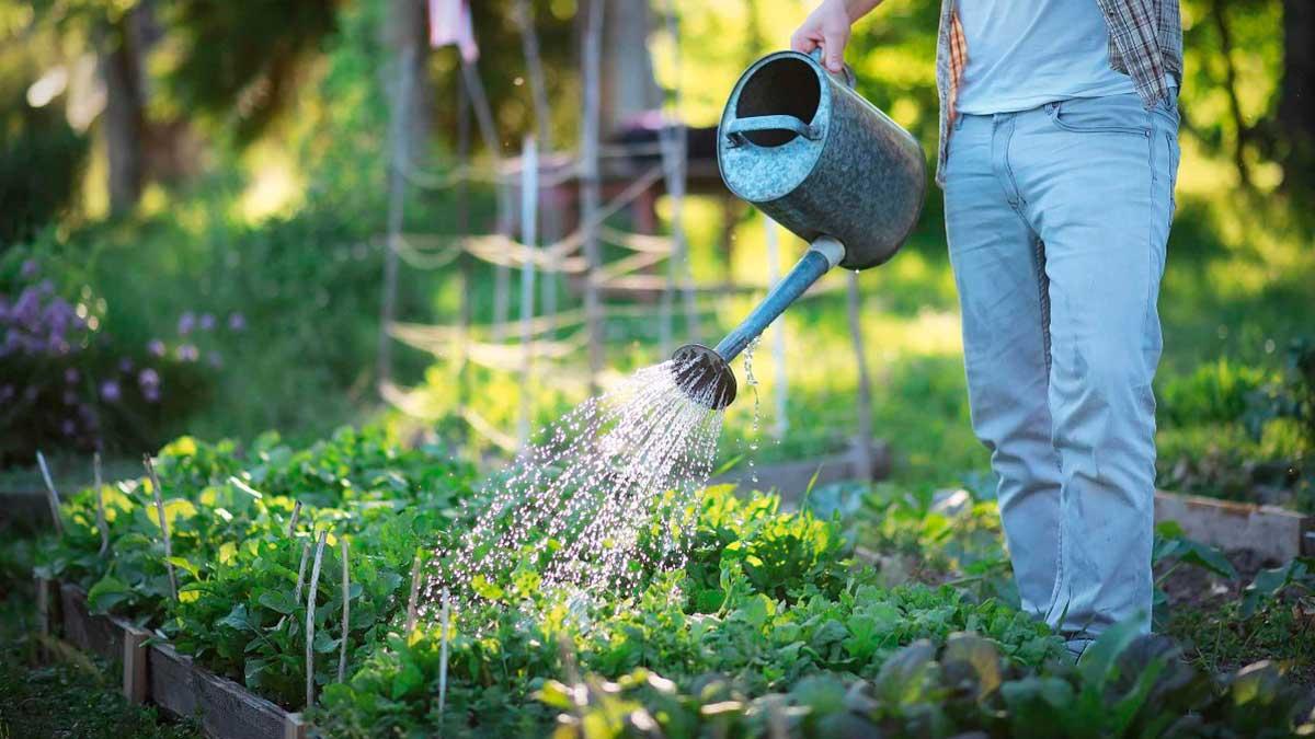 мужчина лейкой поливает рассаду
