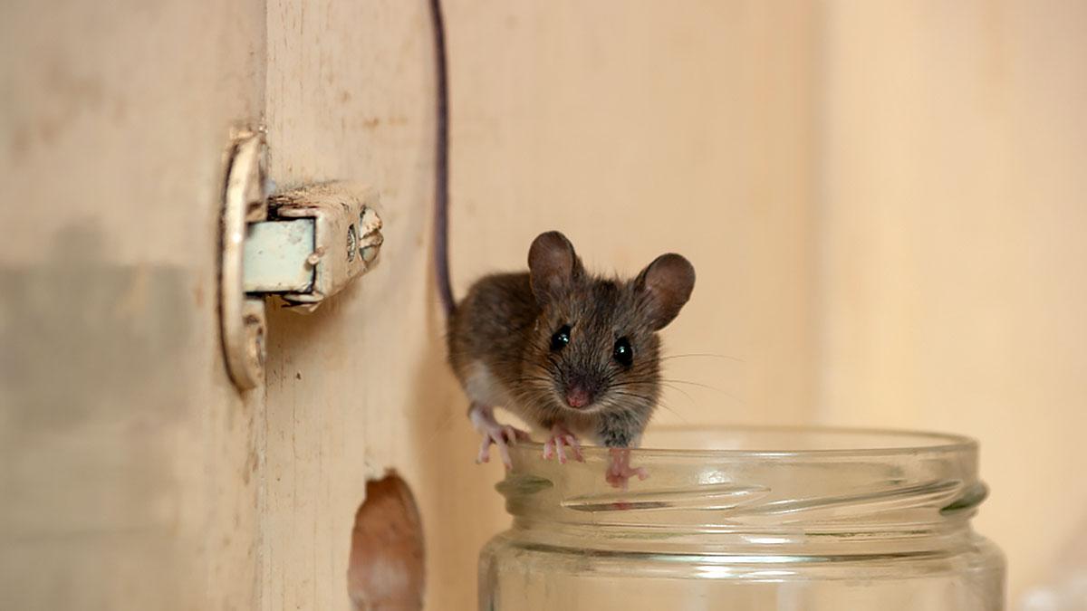 мышь на банке в шкафу