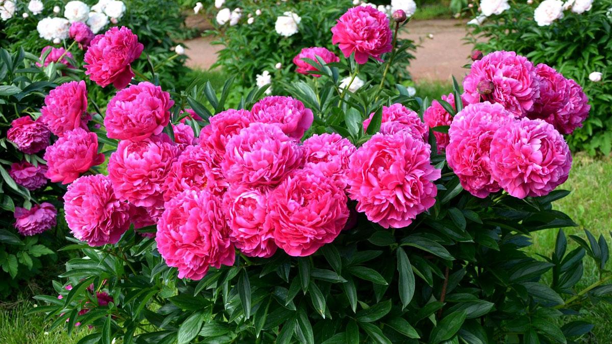 пионы белые розовые цветы дача