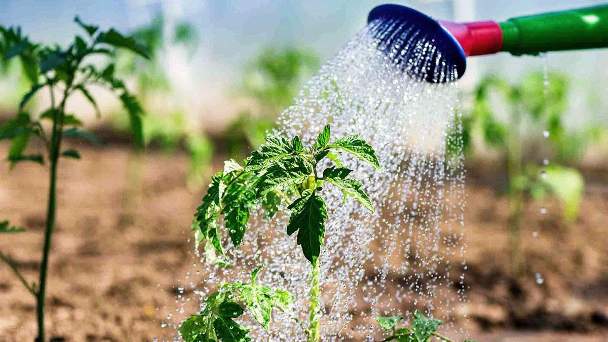 полив томатов помидоров теплица огород
