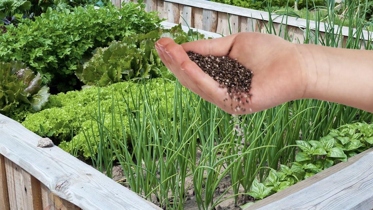 посадка зелени на грядке семенами