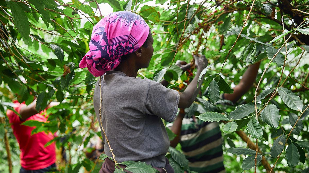 женщина собирает ягоды