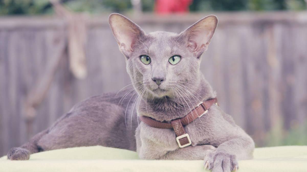 Кошка породы Ориентальная кошка
