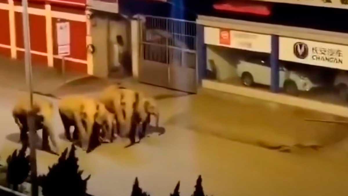 слоны гуляют