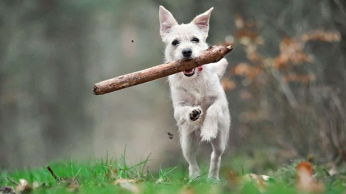 собака бежит с палкой в зубах