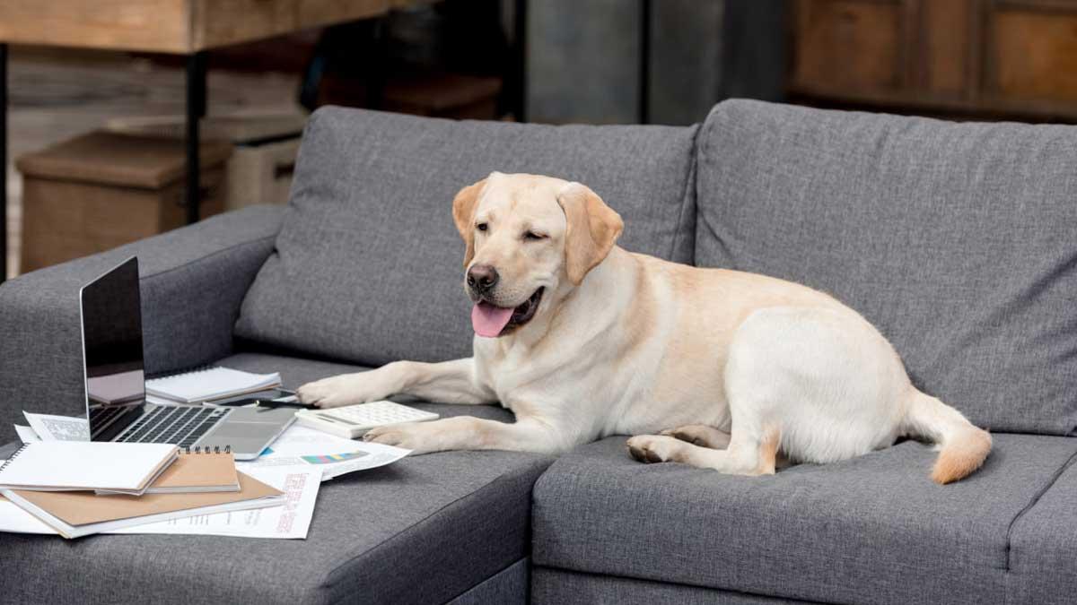 собака на диване работает ноутбук