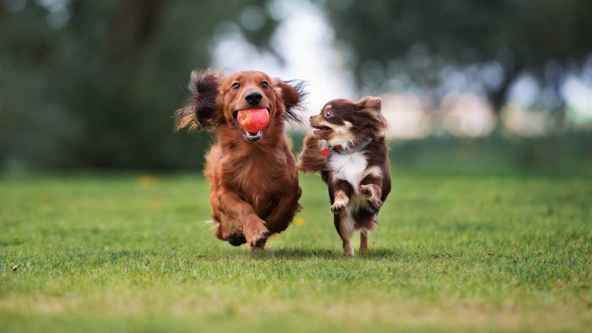 собаки бегут