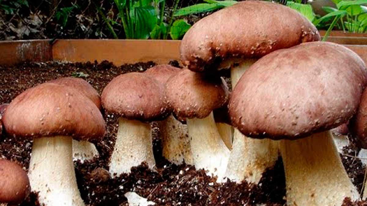 выращивание грибов на даче огороде