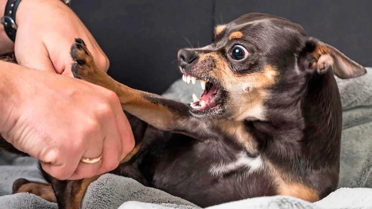 злая маленькая собака