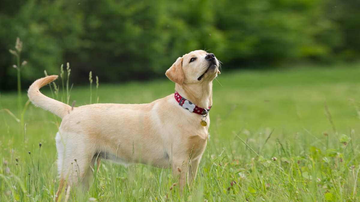Собака породы Лабрадор-ретривер