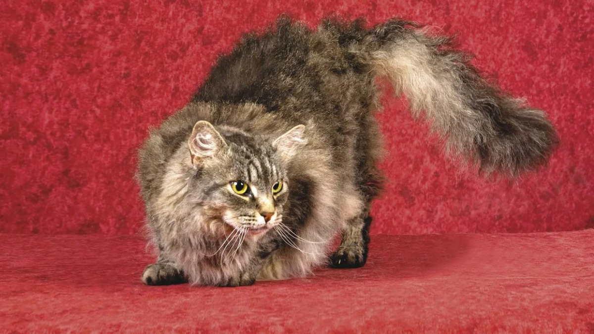 Кошка породы Лаперм
