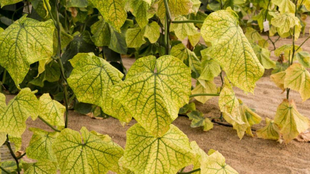 Огурцы желтеют листья