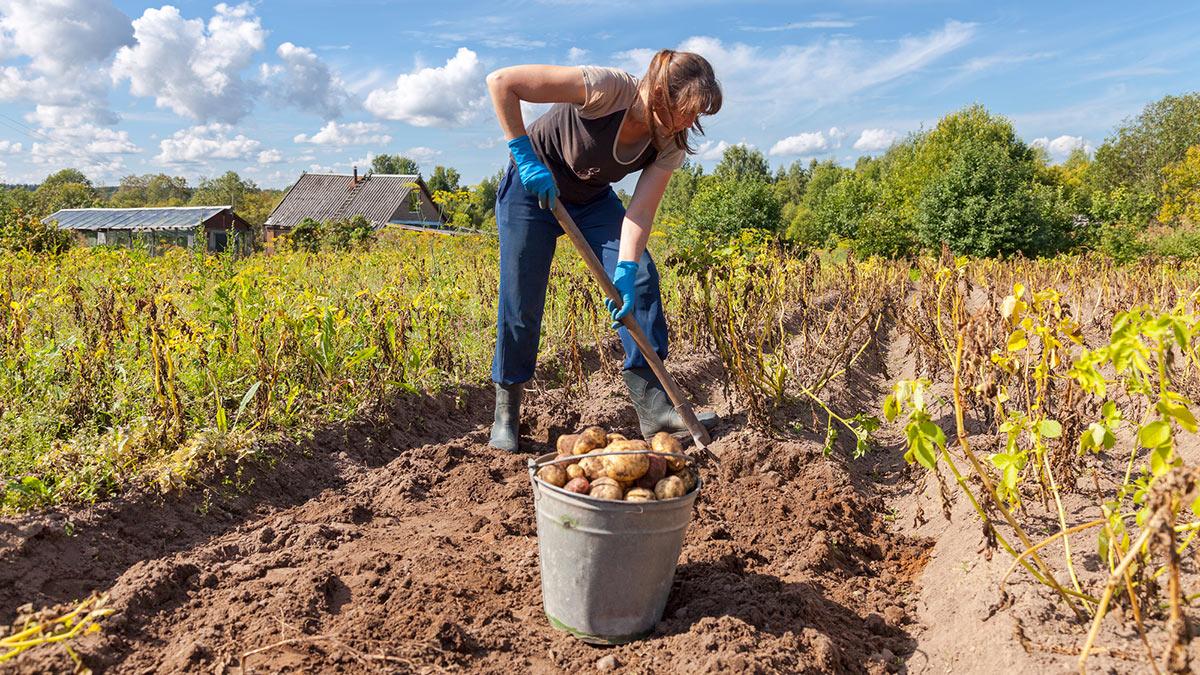женщина убирает картошку