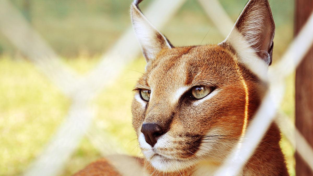 Кошка породы каракал