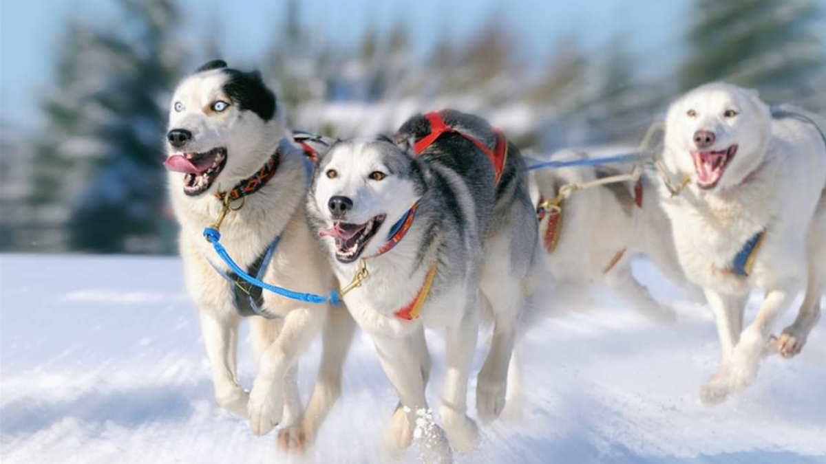 Собака породы Сибирский хаски