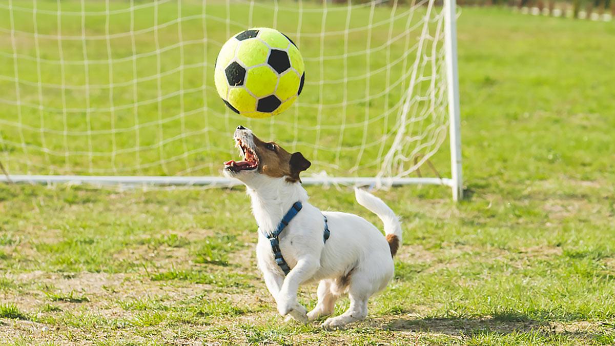 активная собака собака играет в мяч
