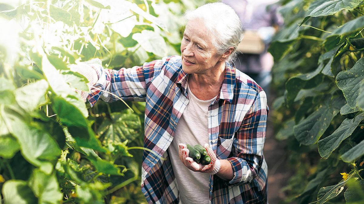 пожилая женщина собирает урожай огурцов