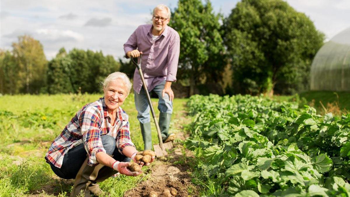 картофель картошка грядки садоводы