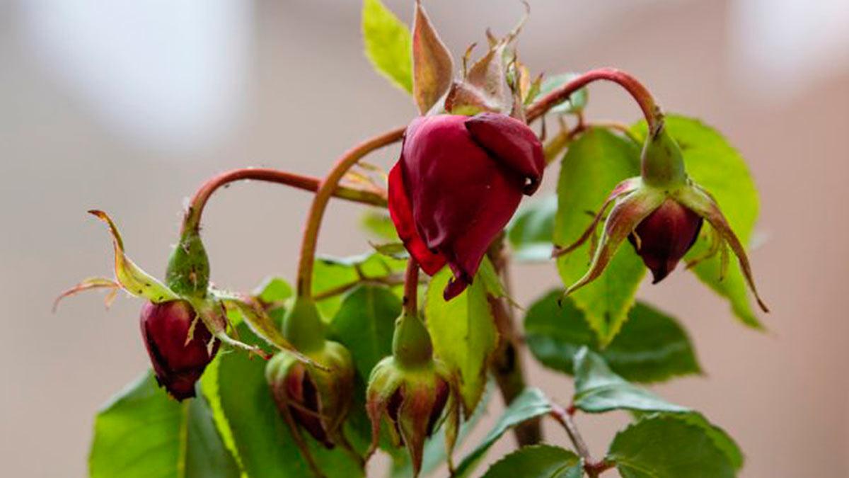 роза засыхает бутоны лепестки