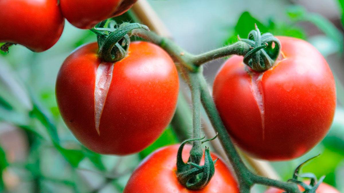 трескаются помидоры при созревании
