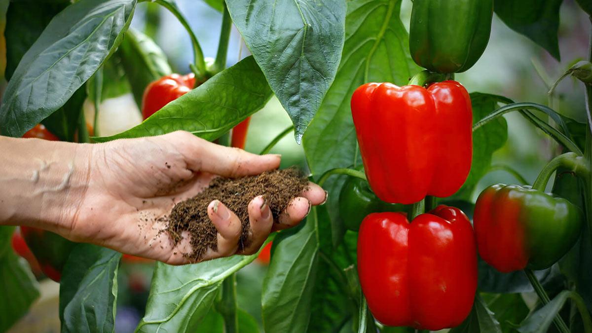 удобрение перцы
