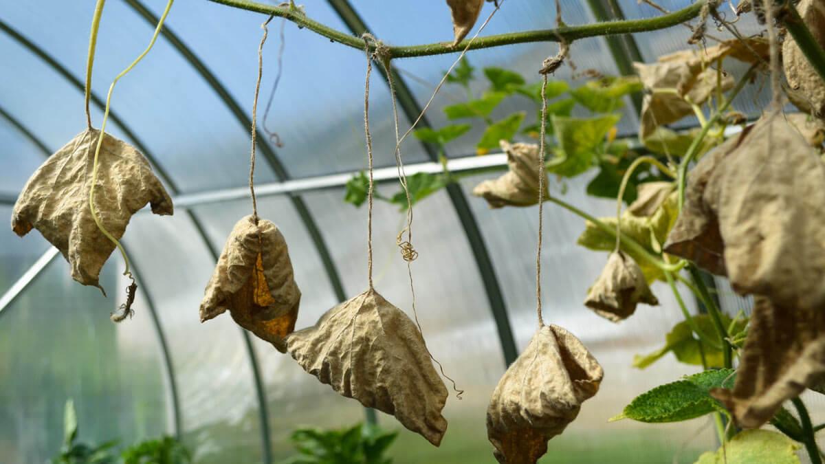 засохли листья огурцов