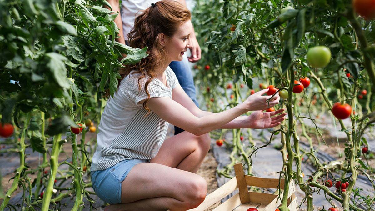 женщина собирает помидоры