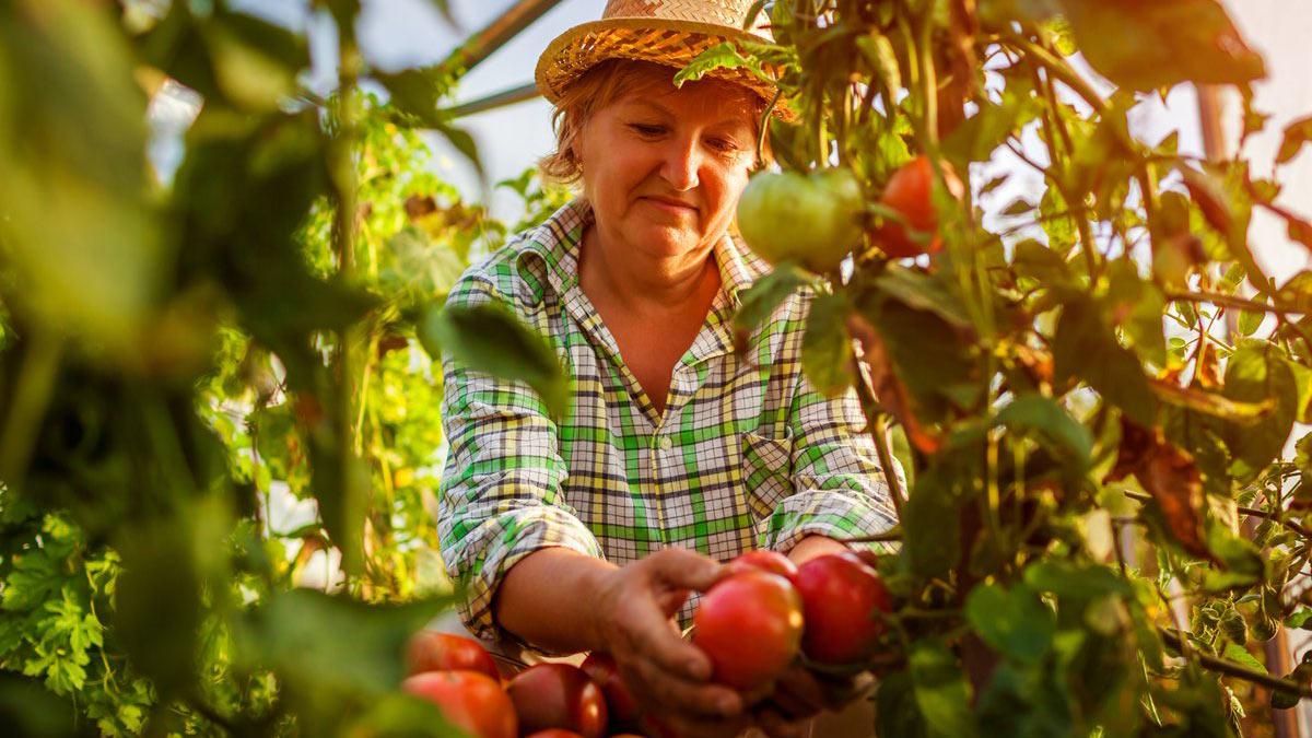 женщина собирает томаты
