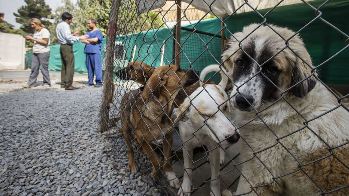 собаки Афганистан