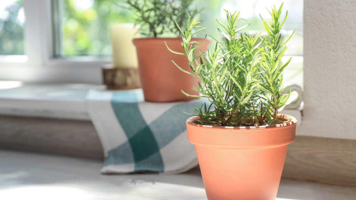 растение Розмарин