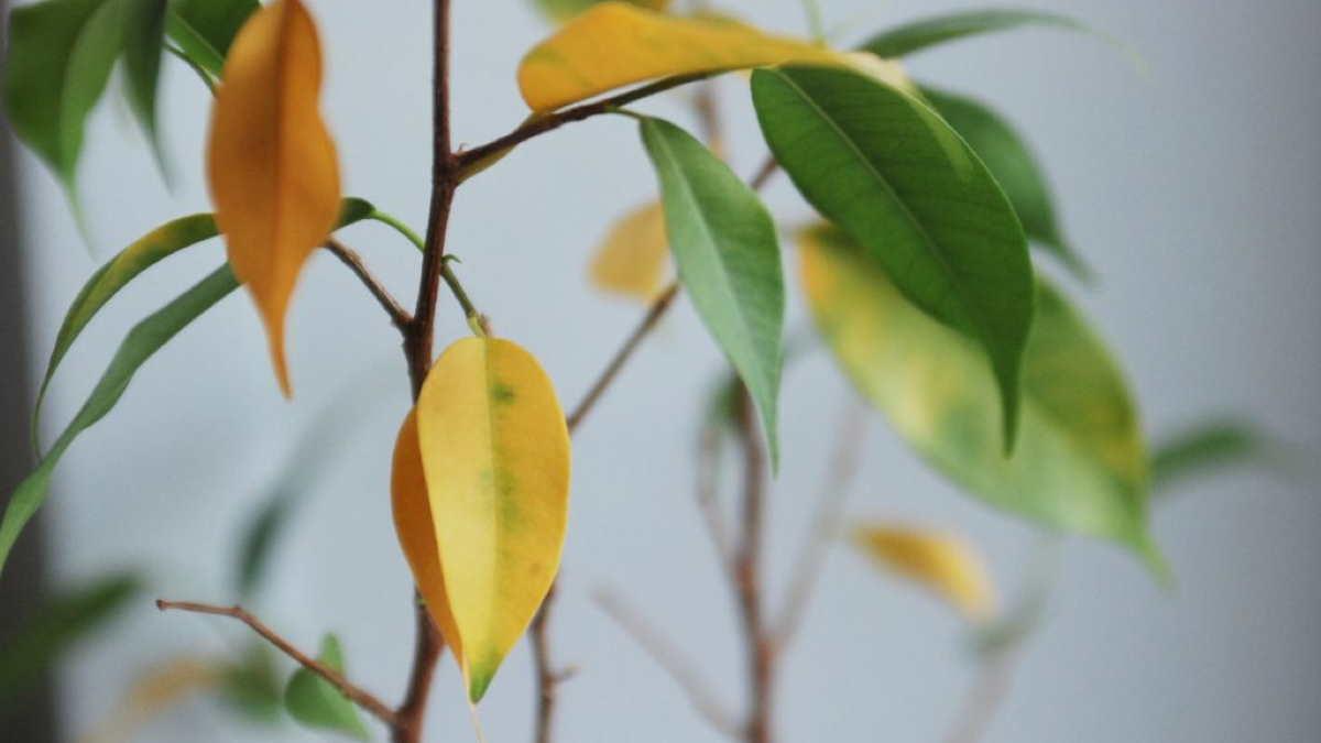 Пожелтевшие листья Фикуса Бенджамина
