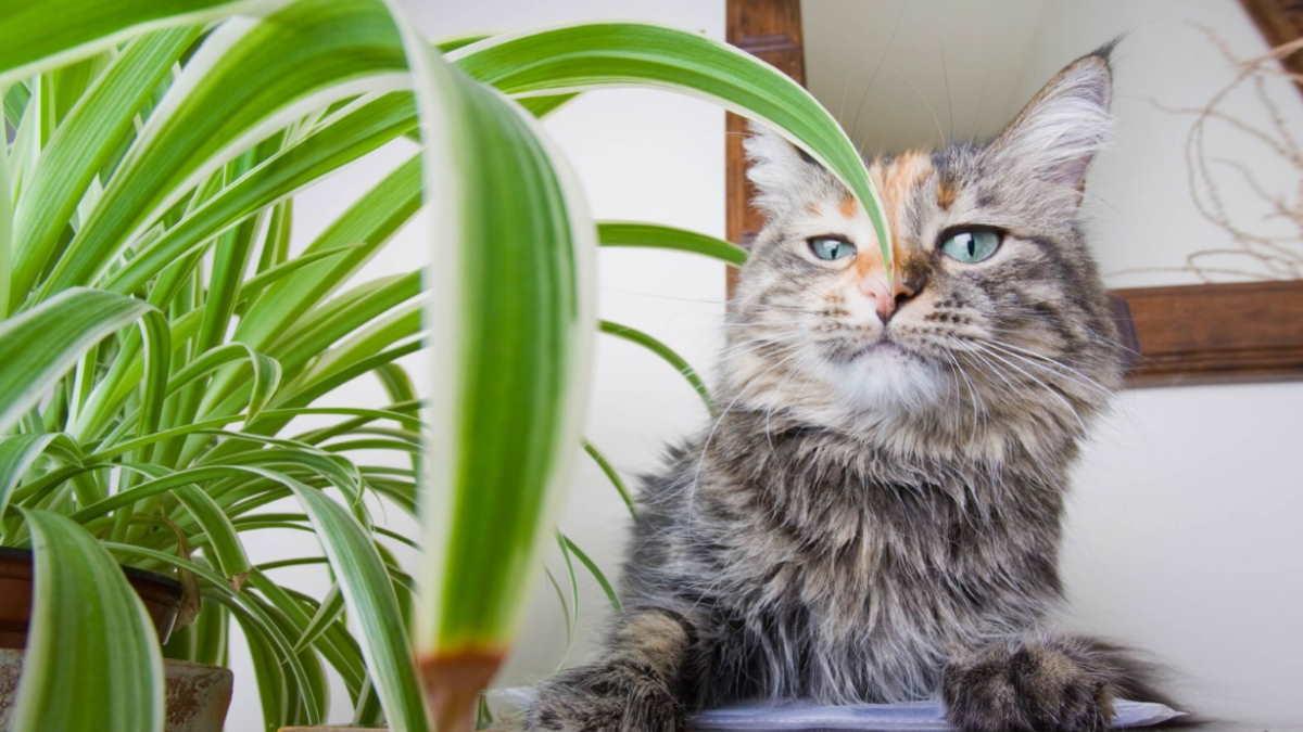 кошка и Паучье растение