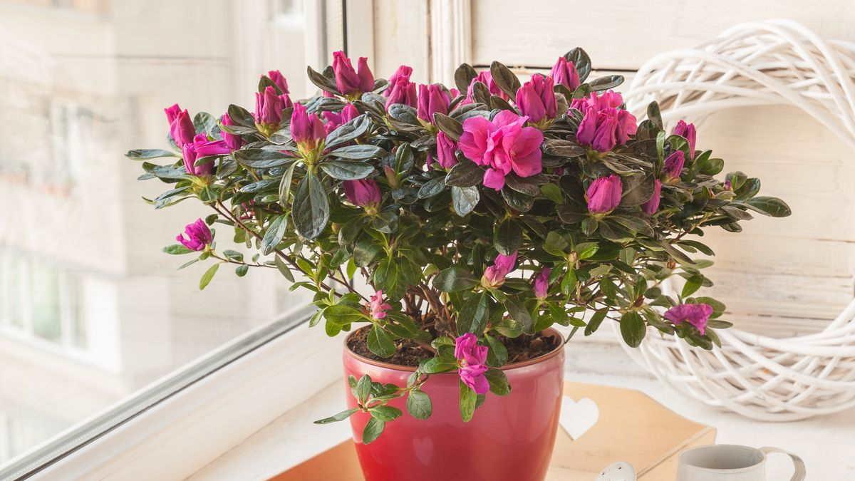 растение Азалия
