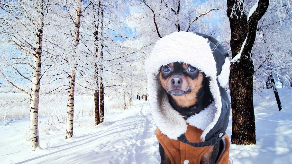 собака в зимней одежде