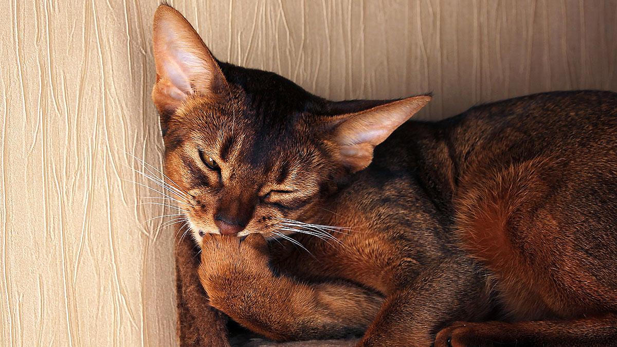 кошка грызет когти
