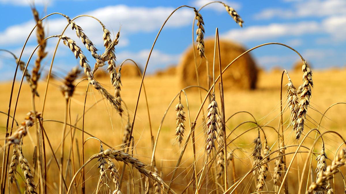 колосья стог сена