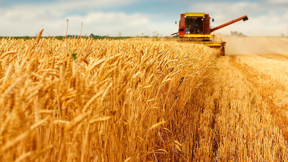 комбайн сбор пшеницы