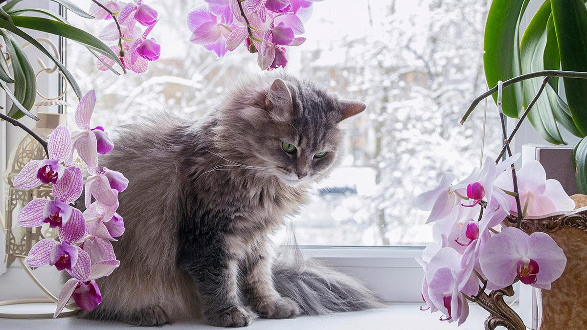 орхидеи кот зима окно