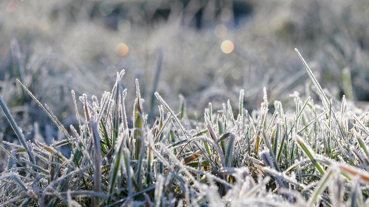 трава в морозе