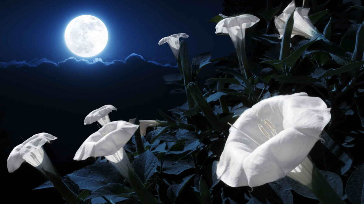 Растение Лунный цветок